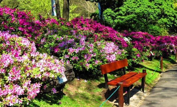 The Azalea flowering trees in public park in Palermo district in Buenos Aires city.
